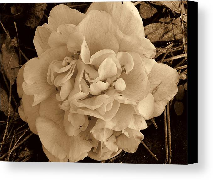 Camellia Canvas Print featuring the photograph Camellia Sepia by Susanne Van Hulst