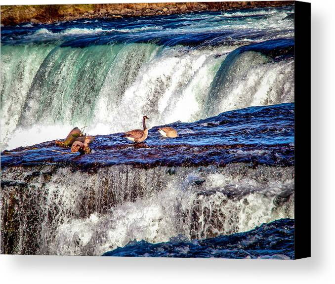 Canvas Print featuring the photograph Canadian Geese by Reed Tim