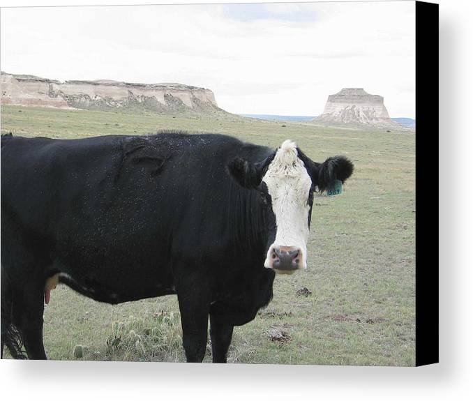Rural Canvas Print featuring the photograph cattle at Pawnee Butte Colorado by Margaret Fortunato