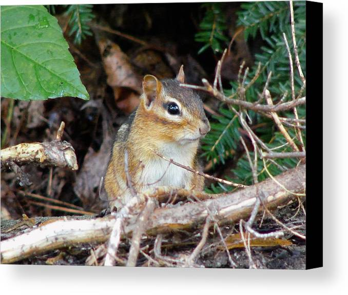 Chipmunk Canvas Print featuring the photograph Chippy by Carl Moore