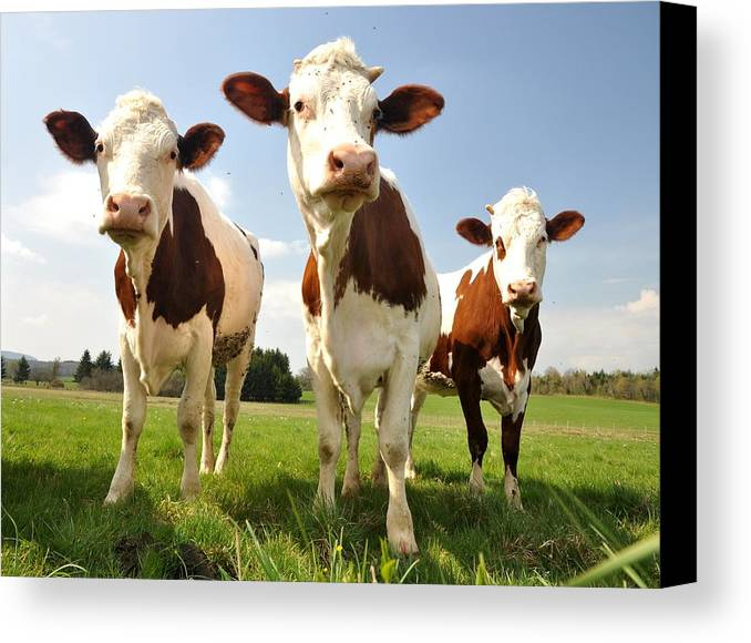 Cow Canvas Print featuring the photograph Curious Cows by Hans Kool