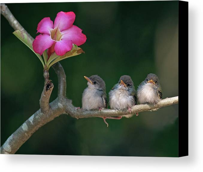Horizontal Canvas Print featuring the photograph Cute Small Birds by Photowork by Sijanto
