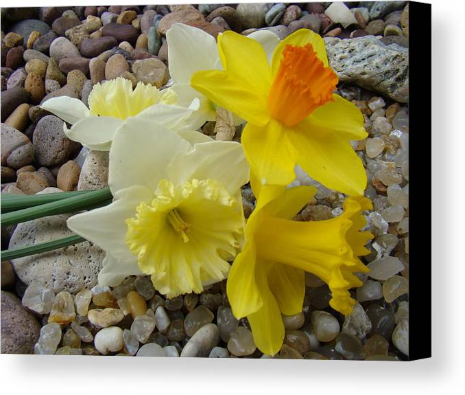 �daffodils Artwork� Canvas Print featuring the photograph Daffodils Flower Artwork 29 Daffodil Flowers Agate Rock Garden Floral Art Prints by Baslee Troutman