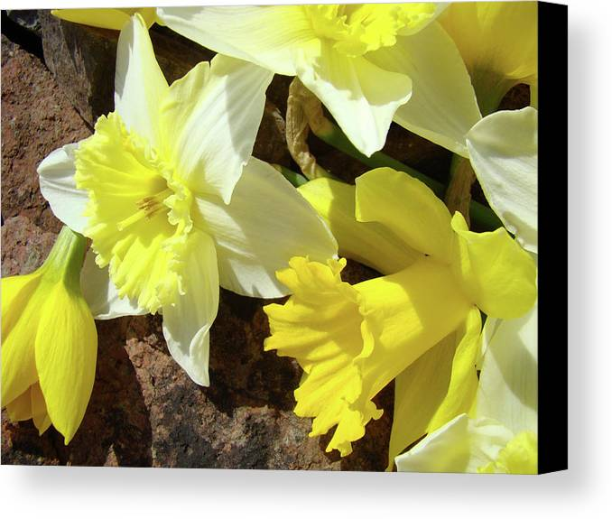 �daffodils Artwork� Canvas Print featuring the photograph Daffodils Flower Bouquet Rustic Rock Art Daffodil Flowers Artwork Spring Floral Art by Baslee Troutman