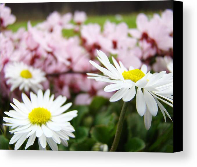 Daisies Canvas Print featuring the photograph Daisies Flowers Art Prints Spring Flowers Artwork Garden Nature Art by Baslee Troutman