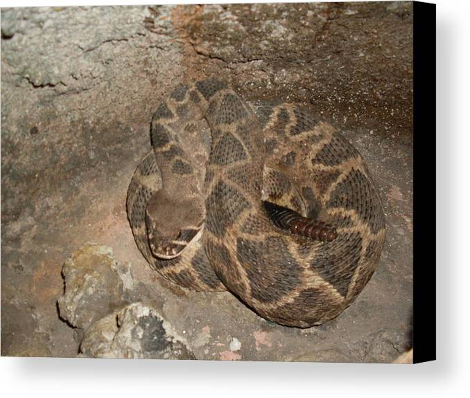 Diamondback Rattlesnake Canvas Print featuring the photograph Diamondback Rattlesnake by Warren Thompson