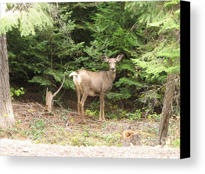 Deer Canvas Print featuring the photograph Doe At Suttle Lake by Juli House