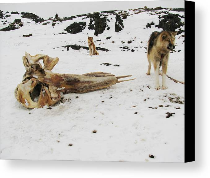 Arctic Canvas Print featuring the photograph Dogs And The Whale by Sidsel Genee