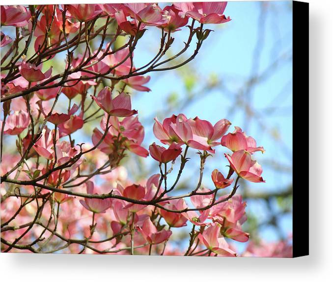 Dogwood Canvas Print featuring the photograph Dogwood Flowering Trees Pink Dogwood Flowers Baslee Troutman by Baslee Troutman