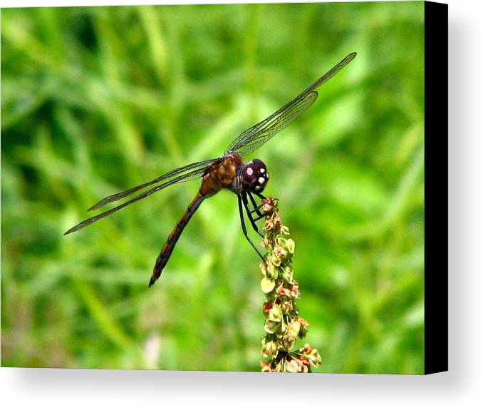 Dragonfly Canvas Print featuring the photograph Dragonfly 7 by J M Farris Photography