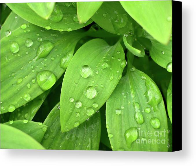 Allergy Canvas Print featuring the photograph Drops On Leaves by Carlos Caetano