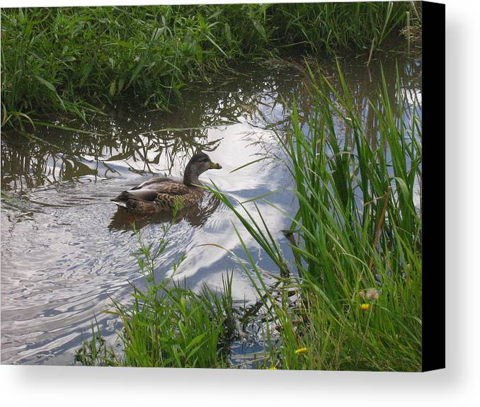 Duck Canvas Print featuring the photograph Duck Swimming In Stream by Melissa Parks