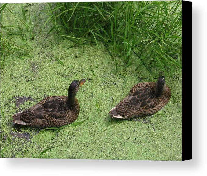 Duck Canvas Print featuring the photograph Ducks In Pond by Melissa Parks