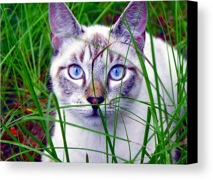 Cats Canvas Print featuring the photograph Earl The Grey by Mike Farmer