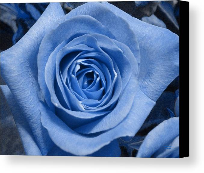 Rose Canvas Print featuring the photograph Eye Wide Open by Shelley Jones