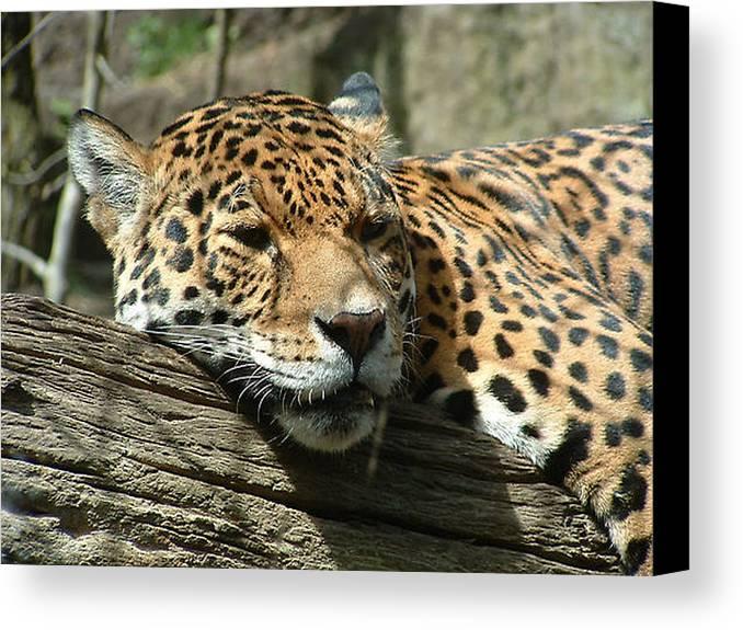 Big Cats Canvas Print featuring the photograph Female Jaguar by Paul Boast