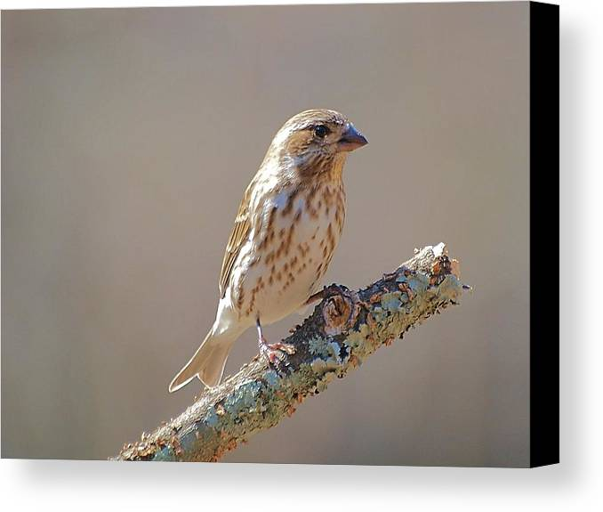 Purple Finch Canvas Print featuring the photograph Female Purple Finch by Bruce Lewis