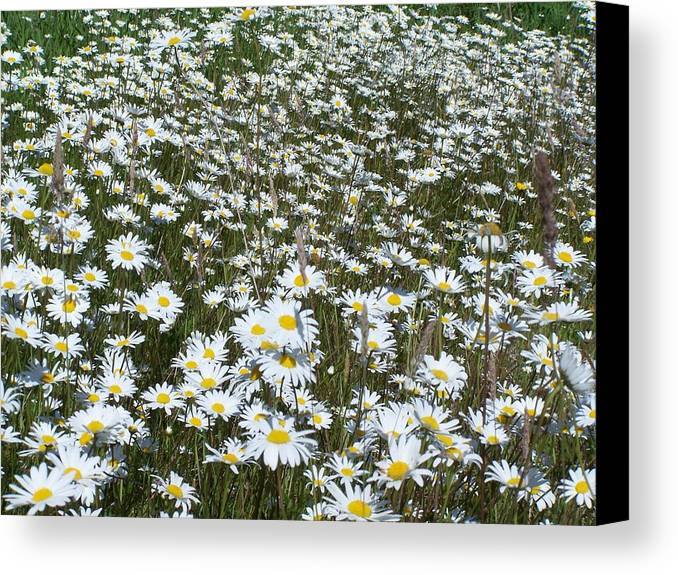 Dasies Canvas Print featuring the photograph Field Dasies by Gene Ritchhart