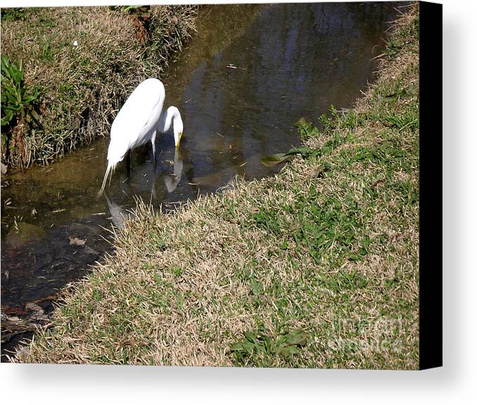 Nature Canvas Print featuring the photograph Finding Breakfast by Lucyna A M Green