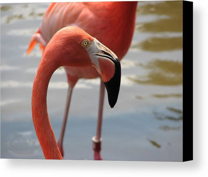 Flamingo Canvas Print featuring the photograph Flamingo by Stacey May