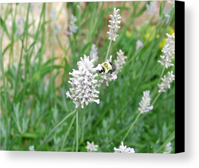 Bumblebee Canvas Print featuring the photograph Flight Of The Bumblebee by Kevin Callahan