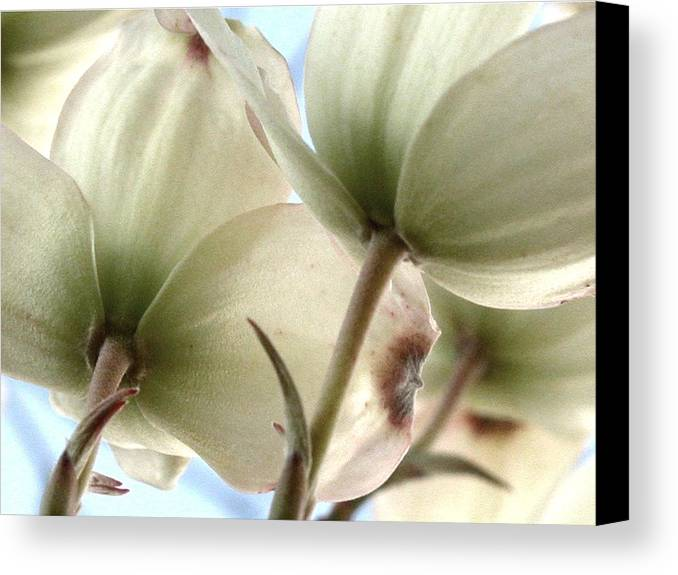 Dogwood Canvas Print featuring the photograph Flowering Dogwood by Michelle Hastings
