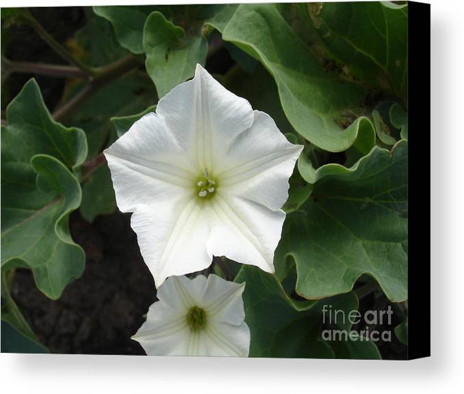 Flower Canvas Print featuring the photograph Galapagos Flower by Chad Natti
