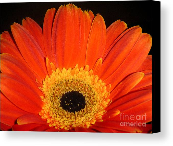 Nature Canvas Print featuring the photograph Gerbera Daisy - Glowing In The Dark by Lucyna A M Green