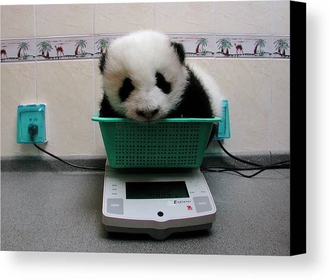 Mp Canvas Print featuring the photograph Giant Panda Ailuropoda Melanoleuca Baby by Katherine Feng