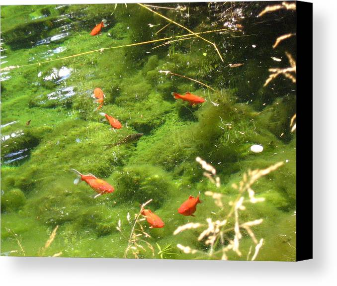 Goldfish Canvas Print featuring the photograph Goldfish In A Pond by Melissa Parks