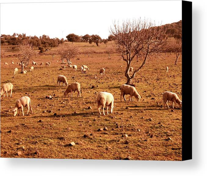 Sheep Canvas Print featuring the photograph Gone With The Herd by Ariane Moshayedi