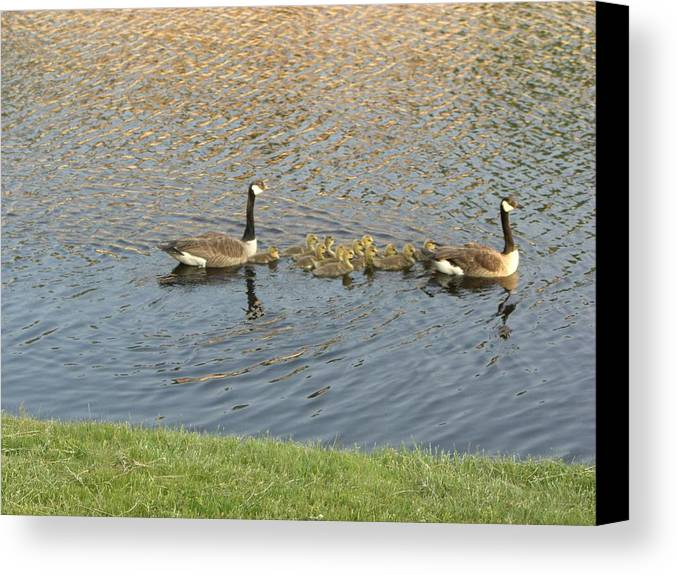 Geese Canvas Print featuring the photograph Goose Pond 1 by Nancy Ferrier