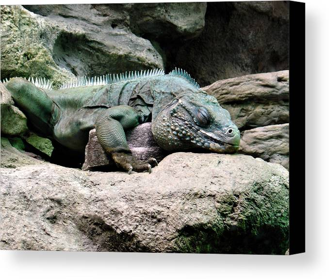 Lizard Canvas Print featuring the photograph Grand Cayman Blue Iguana by Angelina Vick