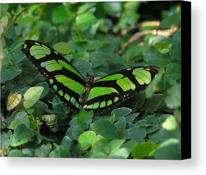 Green Canvas Print featuring the photograph Green Butterfly by Louise Magno