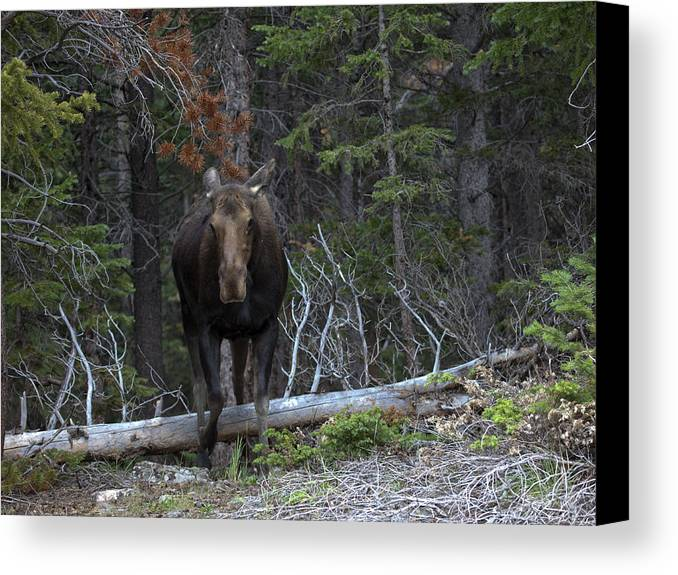 Moose Canvas Print featuring the photograph Hanta Yo by Theo Bauder
