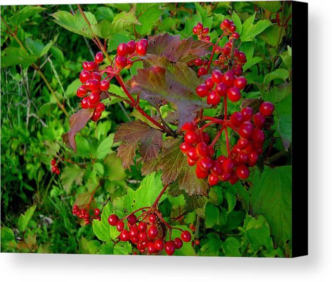Hi Bush Cranberries Berries Canvas Print featuring the photograph Hi Bush Cranberry Close Up by Joanne Smoley