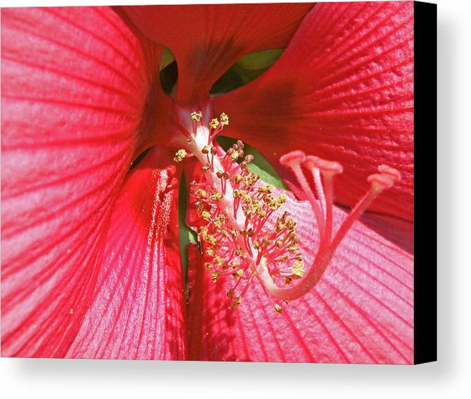 Flowers Canvas Print featuring the photograph Hibiscus by Donna Shahan
