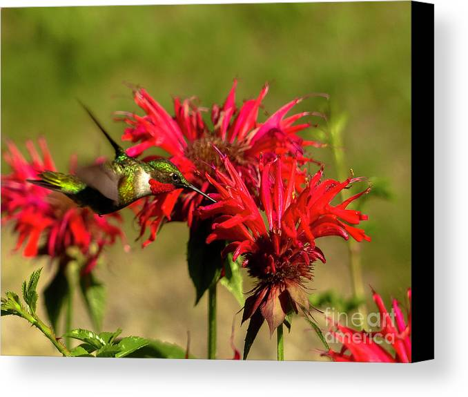 Hummer In The Bee Balm Canvas Print featuring the photograph Hummer In The Bee Balm by Teresa A and Preston S Cole Photography