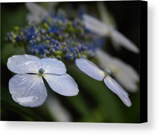 Flower Canvas Print featuring the photograph Hydrangea Macrophylla by Juergen Roth