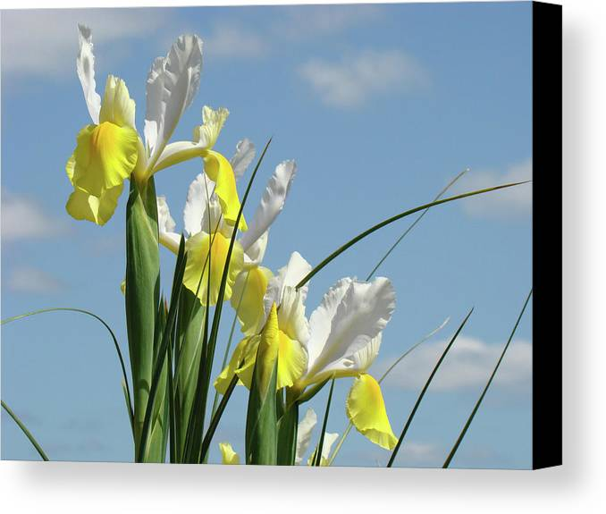 Iris Canvas Print featuring the photograph Irises In Blue Sky Art Print Spring Iris Flowers Baslee Troutman by Baslee Troutman