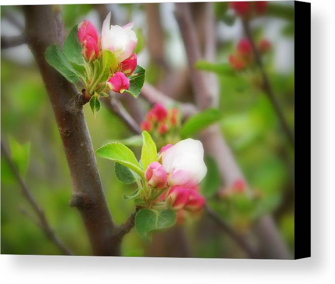 It Is Springtime In The Annapolis Valley Canvas Print featuring the photograph It Is Spring Time In The Annapolis Valley by Karen Cook