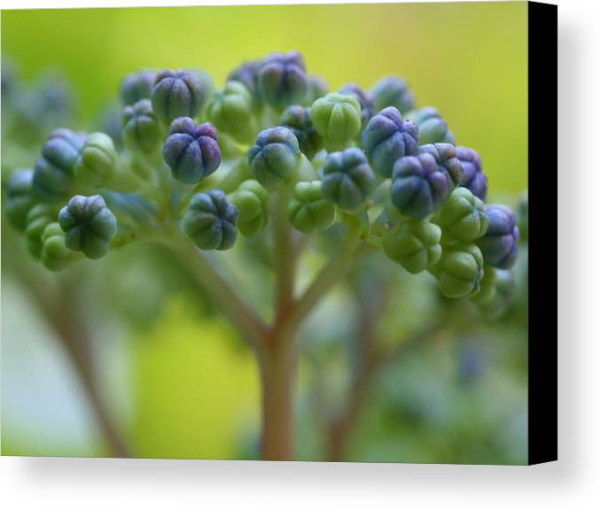 Macro Flower Lace-cap Hydrangea Tree Bud Nature Jeremy Wolff Photograph Canvas Print featuring the photograph Lacecap by Jeremy Wolff