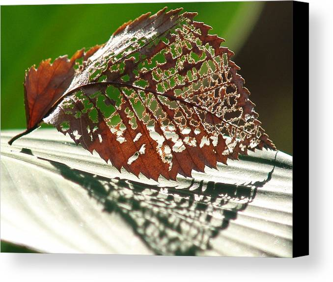 Leaf Canvas Print featuring the photograph Lacy Leaf by Kevin Callahan