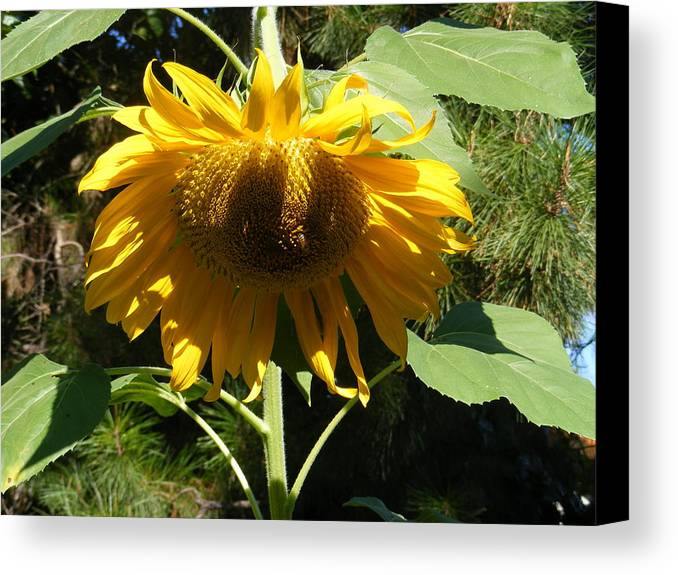 Sunflowers Canvas Print featuring the photograph Let Me Take A Bow by Gail Salitui
