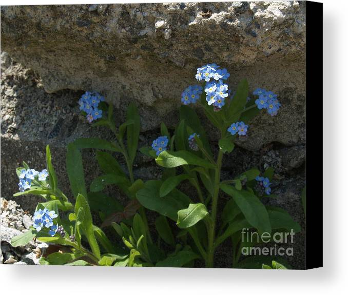 Forget-me-nots Canvas Print featuring the photograph Life Will Prevail by Anna Lisa Yoder