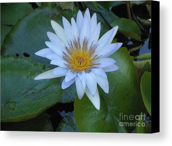 Flower Canvas Print featuring the photograph Lily White by Stephanie Richards