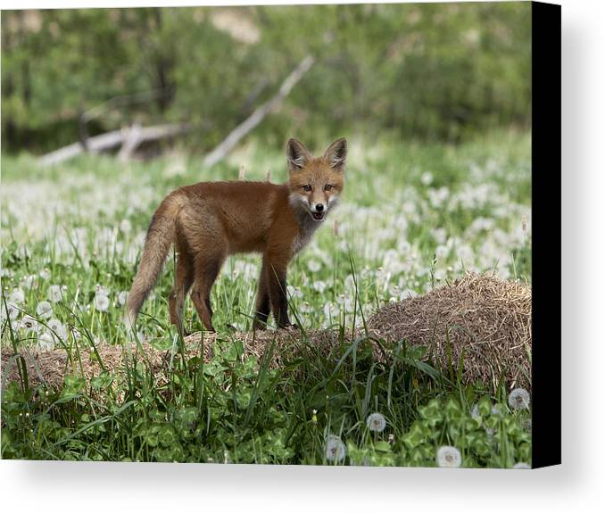Red Fox Kit Canvas Print featuring the photograph Little Dickens by Theo Bauder
