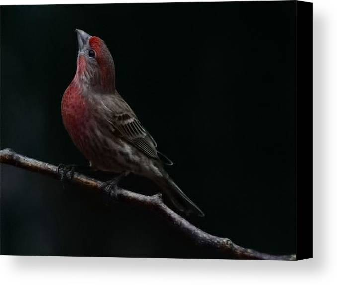 Finch Canvas Print featuring the photograph Looking Towards Heaven by Gaby Swanson