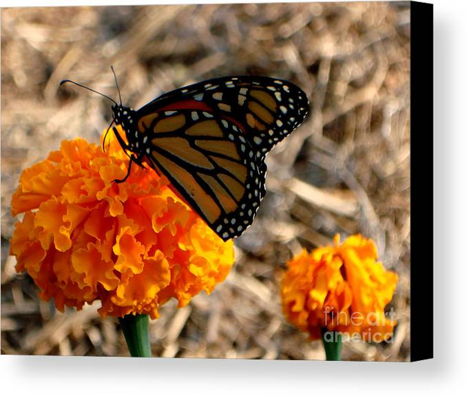 Butterfly Canvas Print featuring the photograph Magnificent Monarch by PJ Cloud