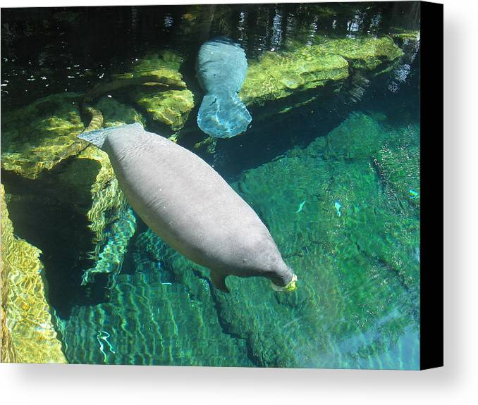 Manatee Canvas Print featuring the photograph Manatee by Deborah Hildinger